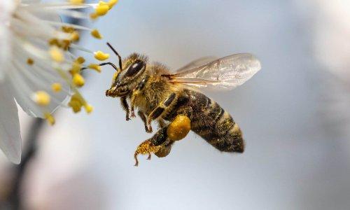 Bi der samler pollen
