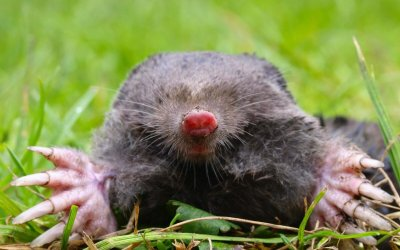 European Mole Head